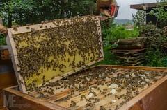 Honigbienen (Apis) (Florian Maucher) Tags: bee honey honeybee biene beekeeping honig honigbiene apiculture imkerei imkern