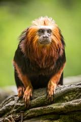 2015-05-12-15h34m18.BL7R1385 (A.J. Haverkamp) Tags: netherlands zoo thenetherlands apenheul apeldoorn dierentuin gelderland goudkopleeuwaapje goldenheadedliontamarin httpwwwapenheulnl canonef100400mmf4556lisusmlens