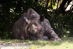 Eastern Black Rhinoceros (Miami Metro Zoo) (Juan Livano) Tags: blackrhino blackrhinoceros african mammal africa animal miamimetrozoo zoo zoomiami florida miami captivity rhinoceros rhino