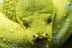 Green Tree Python 24 (cypher40k Photography) Tags: color colour nikon greentree greentreepython python snake green toronto torontozoo zoo