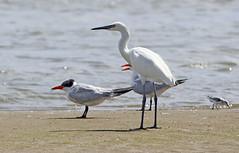 Reddish Egret, Caspian Tern, Sanderling (1krispy1) Tags: egrets terns sandpipers caspiantern reddishegret texasbirds sanderling