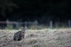 Un sacr regard celui l. (suzukigsxr67700) Tags: chat cats katze animaux animals