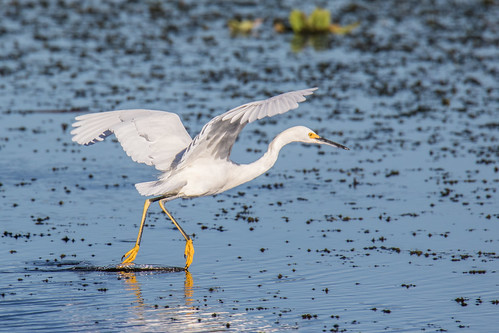 Snowy Egret Scaring Up Breakfast
