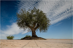 Paved Tree (JayTeaUK) Tags: andalucia spain fuentedepiedra andaluca es lonetree