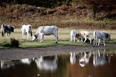 Happy family... (modestino68) Tags: montagna mountain lago lake autunno autumn mucca cow riflessi reflects kingcrimson