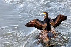 mmmmm che arietta !! (luporosso) Tags: natura nature naturaleza naturalmente nikond300s nikon cormorano cormorant uccelli uccello bird birds roma tevere acqua water birdwatcher abigfave
