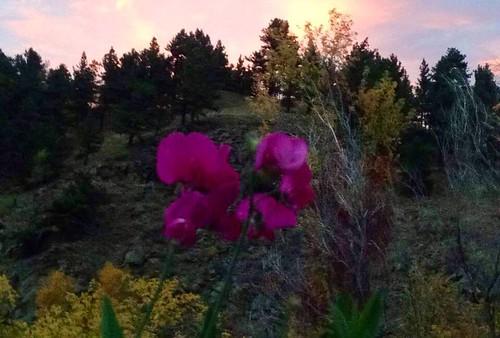 Photo - Larissa Elle Godat- Sunset Sweet Pea