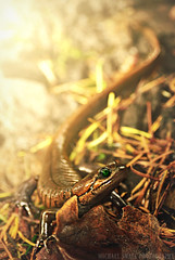Green Eyed Amphibian (Michael Swaja Photography) Tags: salamander creature slimy nature amphibian lizard nikon d5100