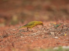 Saffron Finch (Sicalis flaveola) (LLysaght) Tags: finch native tanager roofcanary nativecanary birdsofbrasilia