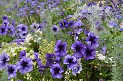 Purples (dfromonteil) Tags: fleurs flowers pourpre violet purple vert green colors couleurs nature bokeh jardin garden light