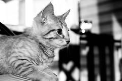 let's play (-gregg-) Tags: kitten bw bokeh cute pet