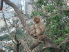 Barbary_Macaque_in_a_Tree,_Gibraltar_2 (Abbey_L) Tags: animal barbarymacaque gibraltar macaque mammal monkey tjpio