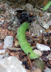 Szczerklina piaskowa // Ammophila sabulosa 5/6 (stempel*) Tags: ammophila sabulosa szczerklina piaskowa owad insect makro polska poland polen polonia stańczyki pentax k30 50mm macro