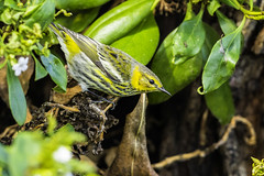 Cape May warbler (X6A_0969-1) (EricLuSF) Tags: capemaywarbler warbler rare liferbird bird byxbeepark paloalto california