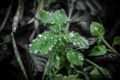 Morgentau-Morning Dew (Jutta M. Jenning) Tags: blattwerk blatt bltter frisch flora natur herbst laub gruen tau tropfen wasser wassertropfen nass tautropfen morgentau