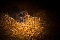 Fehmarn - Tag 4 (O.I.S.) Tags: fehmarn 2016 herbst katze cat stall stable stroh straw bauernhof farm