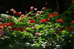 DSC03674 (oliveplum) Tags: flowerdome colourful tribaltempofloraldisplay singapore sony olympusomsystemzuikomcautot12f85mm bokeh plant gardensbythebay marinabay