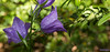 campanule rhomboidale (foulonjm) Tags: vert campanule lure flore fleur provence alpes haute foulonjm
