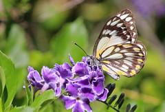 Butterfly 017 (DMT@YLOR) Tags: geishagirl flower spring yellow brown white blueeye eye purple macro closeup focus sharp