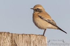 Desert Wheatear, Oenanthe deserti (Marc Read Bird Photography T: @readbirdphotos) Tags: desert wheatear deserti oenanthe cooden beach eastsussex canon 1d x mark ii 1dx sigma150600mm contemporary