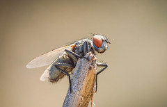 #$ (tomi1302 www.tomiburcul.com) Tags: canon croatia closeup 7dmarkii tamron 90mm macro fly animal insect zadar nature naturallight