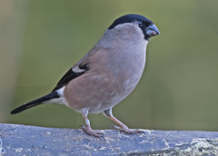 Bullfinch  F (drbut) Tags: bullfinch pyrrhulapyrrhula finches fringillidae songbird nature wildlife bird birds hedgerow trees