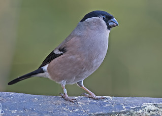 Bullfinch  F