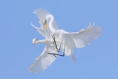 Air Fighting (bmse) Tags: snowy egrets breeding plumage great egret aggressive behavior fight orange county wings canon 7d2 400mm f56 l bmse salah baazizi wingsinmotion