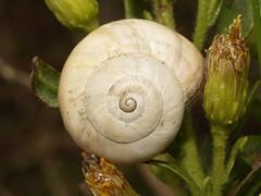 Theba pisana (fturmog) Tags: fauna molluscos moluscos cargols caracoles snails montoliudelleida