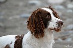 Poised (Donna Rowley) Tags: animal dog spaniel springer puppy fur friend loyal portrait