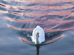 der Schwan kommt herangerauscht (evioletta) Tags: schwan kiel frde abendlicht rosa wellen