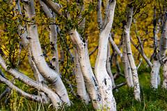 birch trees (lumofisk) Tags: birke island2016 birch draussen nature outdoor tree white nikondf 0mmf0 86mm