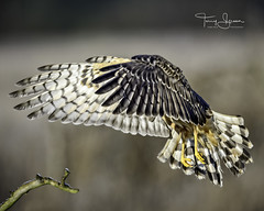 """""""Nothing But Feathers & Talons"""" Female Norther Harrier Hawk (Hawg Wild Photography) Tags: norther harrier hawk northernharrier bird birds raptor raptors of prey nature wildlife animal animals terrygreen nikon nikon600mmvr nikond4s hawg wild photography"""