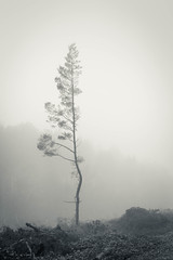 Lonesome pine (catkin314) Tags: trees misty monochrome bw blackandwhite shapes 15minutesfromhome dibden newforest newforestnationalpark