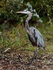 Dec 05 201628325 (Lake Worth) Tags: animal animals bird birds birdwatcher everglades southflorida feathers florida nature outdoor outdoors waterbirds wetlands wildlife wings canoneos1dxmarkii canonef500mmf4lisiiusm