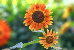 Sunflower Morning (12bluros) Tags: sunflowers flowers flora floral plants nature canonef100mmf28lmacroisusm nybg newyorkbotanicalgarden