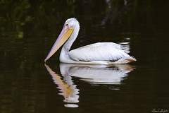 Young American White Pelican (Frank Shufelt) Tags: americanwhitepelican pelecanuserythrorhynchos whitepelican pelicans pelecaniformes aves birds water migration winter nature wildlife evergladesnationalpark enp florida usa northamerica november2016 8491