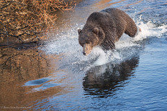 The Chase (rishaisomphotography) Tags: river water running kodiak alaska bear sow grizzly momma chase chasing wild nature wildlife naturephotographer wildlifephotography claws fur mammal uswildlife predator carnivore omnivore