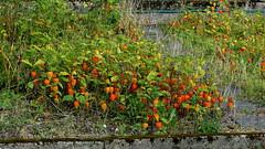 Physalis (Solanaceae) (Ruissalo Botanical Garden, Turku, 20150905) (RainoL) Tags: 2015 201509 20150905 autumn botanicalgarden egentligafinland fin finland flower flowers garden geo:lat=6043290722 geo:lon=2217194917 geotagged physalis plant plants ruissalo runsala september solanaceae turku varsinaissuomi bo ruissalobotanicgarden