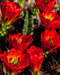 7 Beauties (JohnHersey16) Tags: flower desert succulentplant cactus arizona claret red cactusflower southwestusa needleplantpart outdoor thorn closeup bloodred colorimage desertplant nopeople dry bud hedgehogcactus bunch