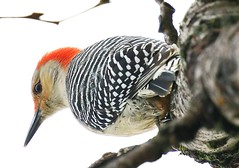 red-bellied woodpecker  female at Lake Meyer Park IA 854A2611 (lreis_naturalist) Tags: redbellied woodpecker female lake meyer park winneshiek county iowa larry reis