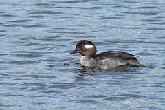 Bufflehead (f) shake (Delta Naturalists Casual Birding) Tags: 201414 dncb colony dncblocation