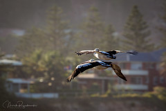 C85E1575.jpg (meerecinaus) Tags: bird longreef pelican beach