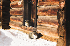 Siberian Cats (DRoofing163) Tags: winter door cat outside animals architecture animal cute snow friends rest wood cats pet wildlife doors structure quiet furry no people content wild wooden logs