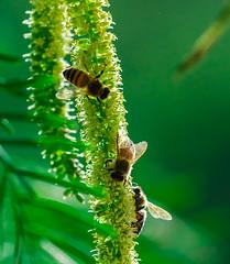 Obreras (Tanty.) Tags: abejas trabajo miel flor volar alas petalos
