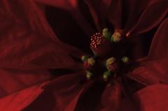 Gay Apparel (MPnormaleye) Tags: poinsettia plant flower leaves crimson red nature christmas yuletide seasonal utata macro