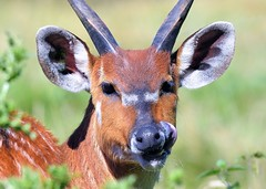 Bongo (Tragelaphus eurycerus) (gillybooze) Tags: allrightsreserved animal bongo outside horns bokeh dof plant whipsnadezoo mammal
