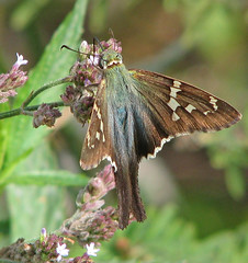 Long-tailed skipper in wild verbena (Vicki's Nature) Tags: longtailedskipper butterfly blue spots tails vertical wildflowers verbena vickisnature etowahriverpark canton georgia canon s5 1170 dof