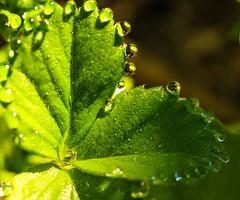 ...beaded de light.. (dawn.tranter) Tags: flora 7dwf backlit sunshine green plants water droplets dew dawntranter