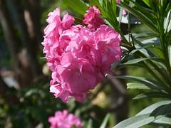 Oleander (Toats Master) Tags: pink oleander tortola britishvirginislands island flowers bloom plant nature